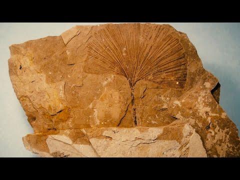 Gingko, árbol fósil