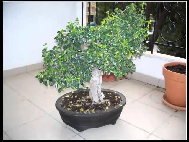Bonsai Carmona Leer Hoe Jij Je Bonsai Boom Kunt Kweken Verzorgen En Snoeien Klik Hier Youtube