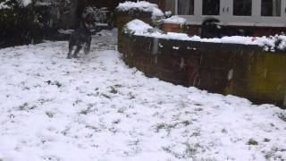 Schanuzer puppies playing in the snow - CUTE