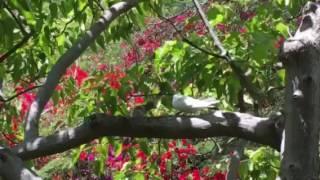 シロアジサシのヒナ