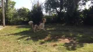 Cute Dog Beagle Everyday ビーグル犬の日常 #6
