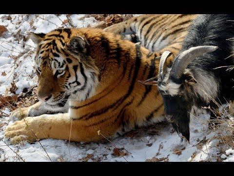 König der Natur - Der Tiger - Doku 2017 NEU *HD*