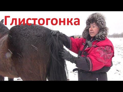 Глистогонка лошадей.