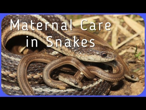 do-snakes-care-for-their-babies?