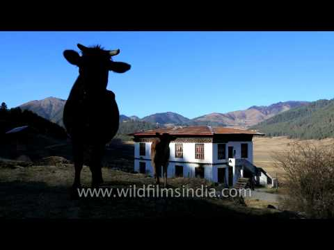 Friendly cows say 'Hello' from Bhutan!