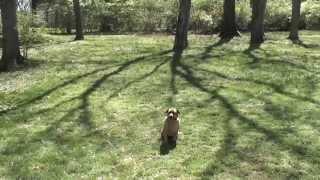 Guy Nashville Dog Trainer 097: Training A Corgi/mix