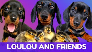 Best of Dachshund Loulou and Friends Videos Compilation
