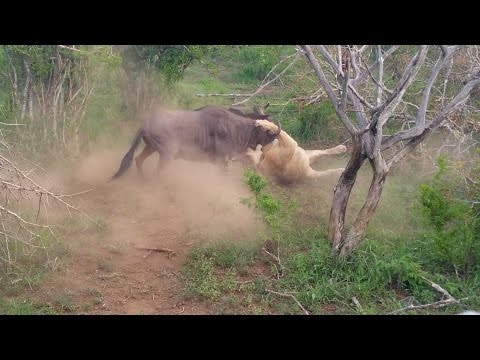 Wildebeest Vs Lion In Fight For Life