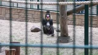 Funny Monkey - Mandryl in Zoo