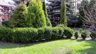 Jak sadzić bukszpan poradnik ogrodniczy