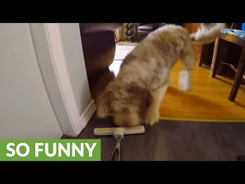 "Dog decides to ""help"" owner with the vacuuming"