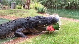 Australia, il coccodrillo tritura un'anguria in un secondo