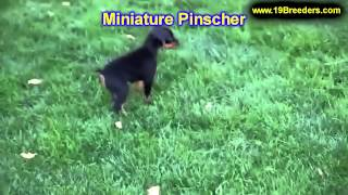 Miniature Pinscher, Puppies, For, Sale, In, Lansing, Michigan, Mi, Oakland, Macomb, Kent, Genesee, W