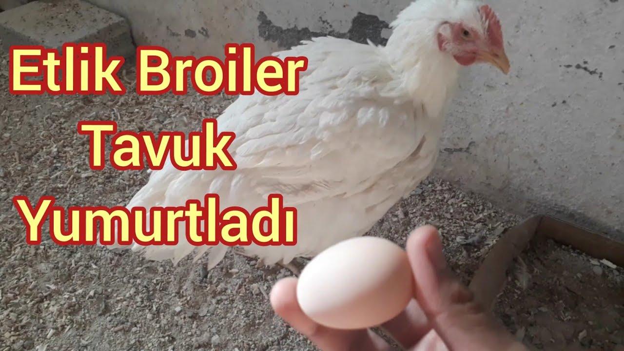 Civcivken Aldığım Etlik Broiler Tavuk Yumurtladı/Broiler tavuk ilk yumurta #broiler #etliktavuk #köy
