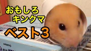【2016最新】かわいいキンクマハムスターの面白ハプニング【ベスト3】Ha...