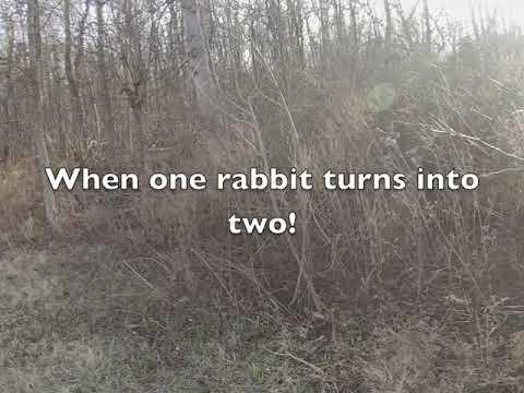 Rabbit Hunting- Beagles Down On The Farm