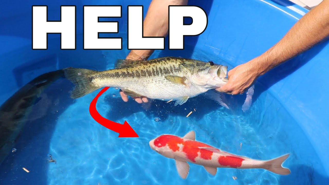 Found MISSING Koi Fish Inside Of JAWS!!