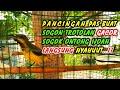 Masteran Terapi Mental Ampuh Sogok Ontong Ijoan Sogon Trotolan Tidak Nunggu Lama Lansung On Gacor  Mp3 - Mp4 Download