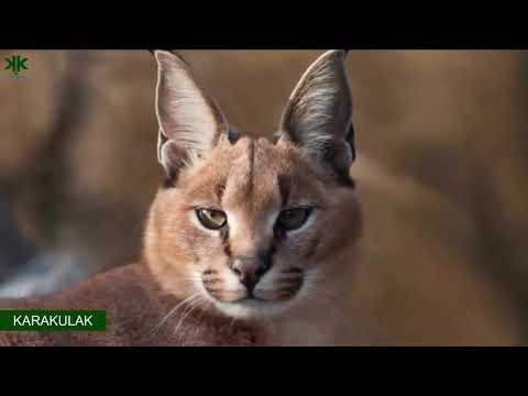 anadolu'nun-vahşi-kedileri