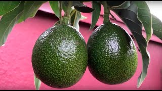 9/18/19 Reed Avocado Fruiting Report #3