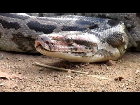 Indian Python attack, during rescue and transfer to natural habitat