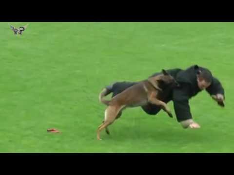 malinois-dog-attack-best-attacks-amazing