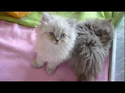 Fair and Square - Selkirk Rex kittens, 8 weeks old.avi