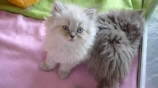 Fair and Square  Selkirk Rex kittens, 8 weeks old.avi