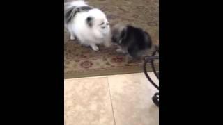 Wolf Sable Pomeranian And Piebald Parti Pomeranian Playing