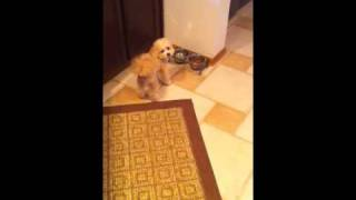 Fabdogz Training, Teacup Poodle Mix Is Rewarded For Good Behavior