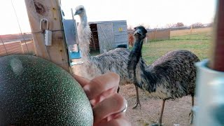 It's time to make some EMU eggs