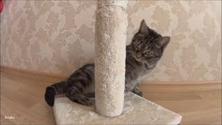 Кошка-убийца мышей. Миса. Playful cat.