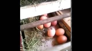 Гнездо для кур с яйцесборником. Своими руками.(Гнездо для кур несушек с яйцесборником. Яйца чистые не давятся и не расклевываются. Удобно и практично...., 2017-03-01T08:16:00.000Z)