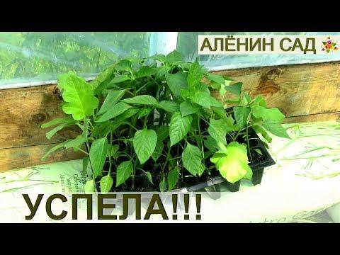 Все-таки успела!!! Поздний посев на рассаду перца и баклажанов стал удачным