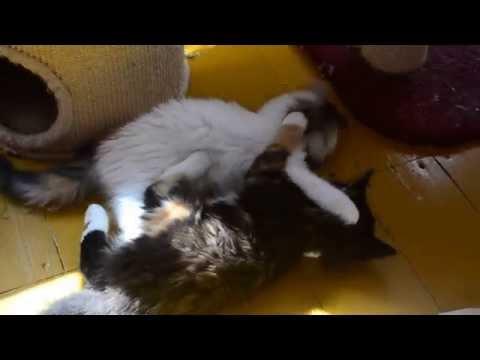 Clarke & Raven | Norwegian Forest Cat Kittens  | Norvég Erdei Macska kölykök