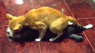PartCats Mating Hard And Fast Up Close   Funny Animals Mating Compilation   Funny Cats Mating