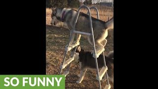 Talented husky knows how to climb ladder