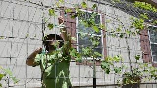 Grape Arbor Trellis Maintenance