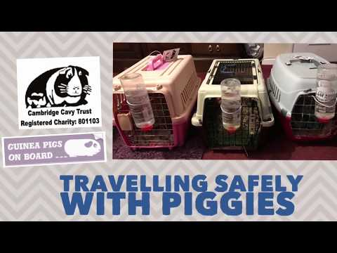 Travelling Safely With Guinea Pigs 🚦