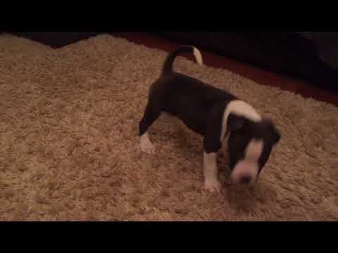 Direct Big Country puppies for sale!!!
