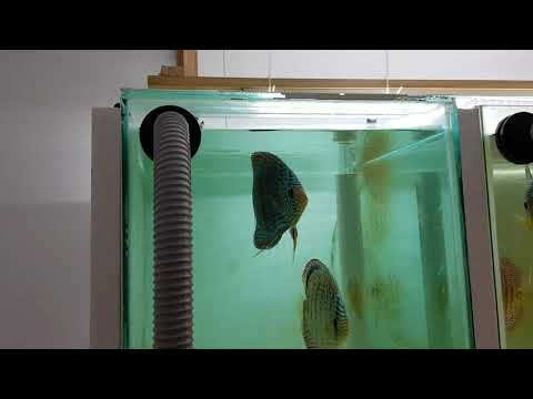 Our Discus Spawning Tanks Set-up