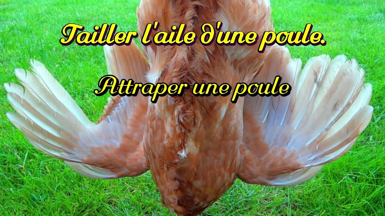 Comment couper l 39 aile d 39 une poule attraper une poule youtube - Image d une poule ...