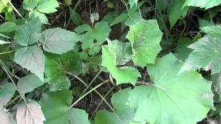 листья мать-и- мачехи