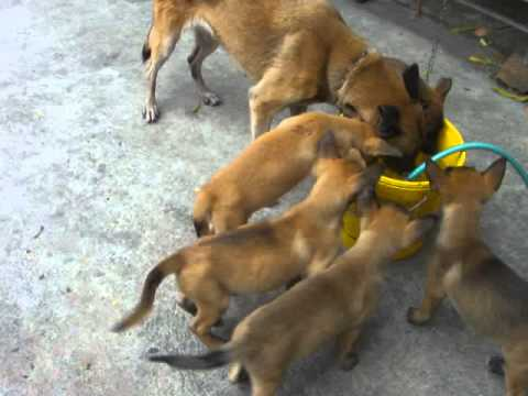 Pure breed Belgian Malinois puppies for Sale or Swap