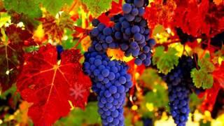 ВИНОГРАД - ПОЛЬЗА И ВРЕД | Полезен ли виноград, виноград польза