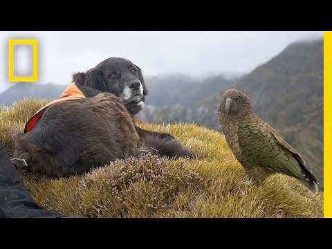 This Amazing Dog Helps to Save Endangered Parrots   Short Film Showcase