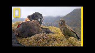 this-amazing-dog-helps-to-save-endangered-parrots-short-film-showcase