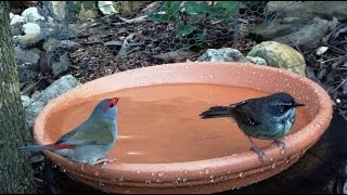 Fab Four - Bird Bath Attracts Four Small Aussie Bird Species