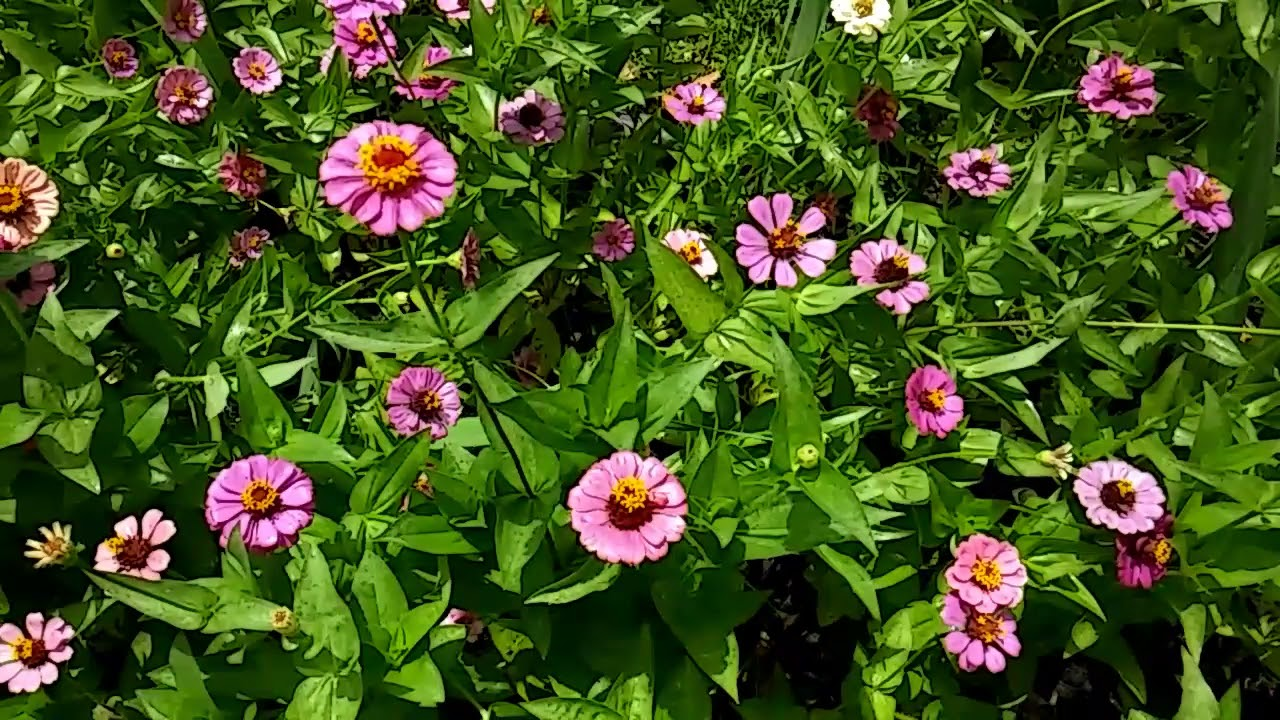 Dollar Tree Flower Seeds Blooming Youtube