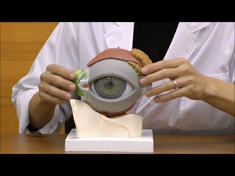 まぶた付きの大きな眼球模型,内部の構造も確認できます│F12